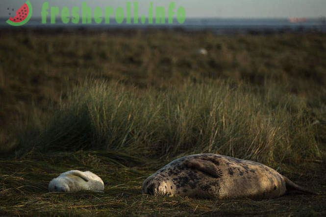 Seals Lincolnshire County
